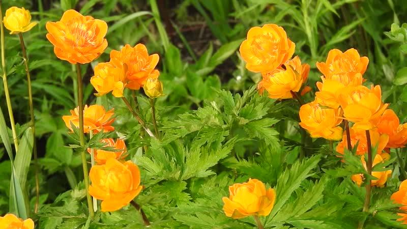 Всех с наступлением Весны Цветет азиатская купальница Трели соловья Скоро скоро все осуществится