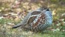 エゾライチョウ 1 苫小牧 北海道 Hazel Grouse Wild Bird 野鳥 動画図鑑