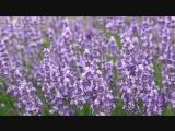 Июль - цветение лаванды