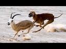 كلب السلوقي ثاني أسرع حيوان في العالم ضع سم
