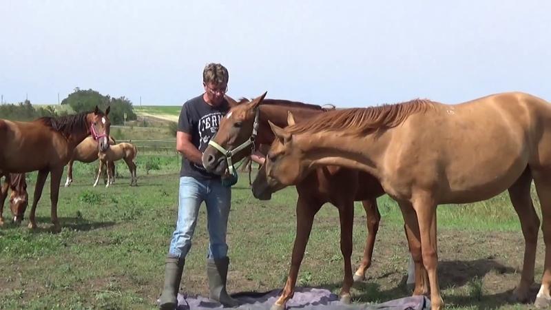 Лошади знакомятся со страшным матрацем Наш золотой табун