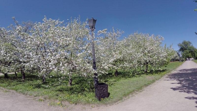 Парк Коломенское. Цветущие яблоневые сады. Часть 2