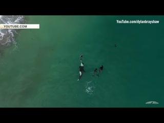 Редкие кадры, Киты убийцы окружили плавающую в море девушку