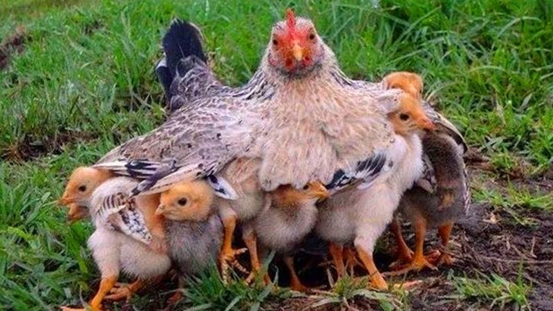 Mother Hen 🐔 Protecting Chicks 🐥 Cute Mama Hen and Chicks Videos 🐣 Baby Chicks Hen Video