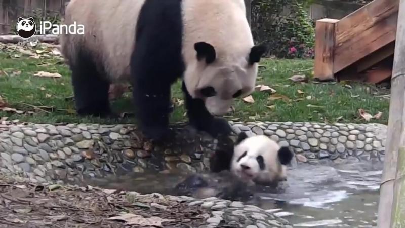 Мама-панда заставляет малыша купаться