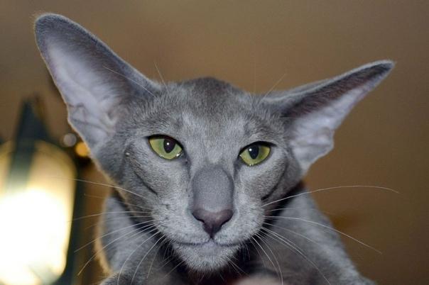 Ориентальная порода кошек Можно сказать, что она прибыла к нам с далекой и ещё неизученной планеты, и, глядя на неё, вы бы в это точно поверили. Но лучше узнать о ней поподробнее. История породы
