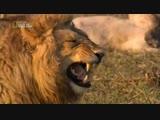 Смех льва заразителен _ Когда отпустит (хорошее настроение, юмор, смешное видео, король лев, царь зверей, Африка, животное).