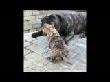 Канарский Дог щенки - Заботливая Канарская мама