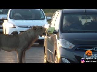 Lion Versus Cars Door