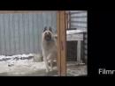 Танцующий пёс
