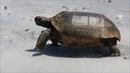 Gopher Tortoise on the Beach
