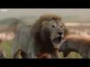 Кооперация львов Объединяйся и здравствуй