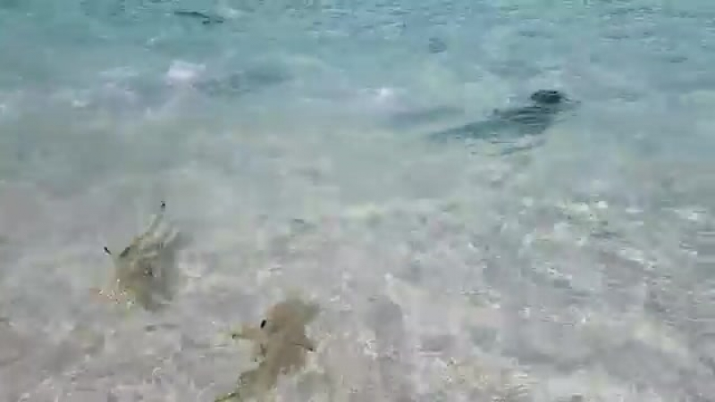 Shark Attack in Maldives Vacation_ Best House Reef.mp4