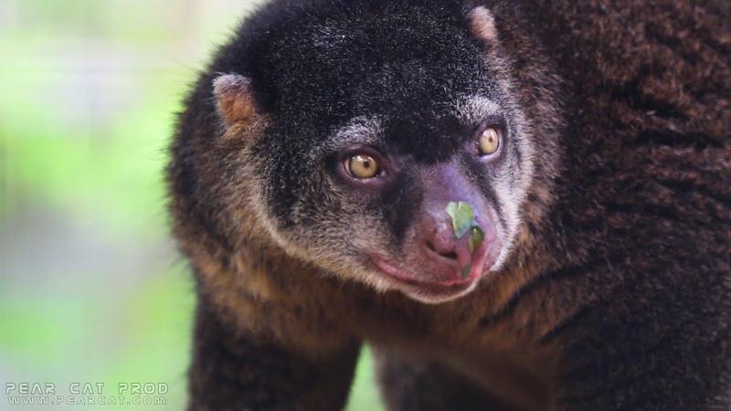 Медвежий кускус Sulawesi bear cuscus Beerkoeskoes