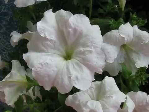 Зацвела прекрасная петуния . Blossomed beautiful petunia