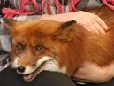 В мире животных • Дикая лиса