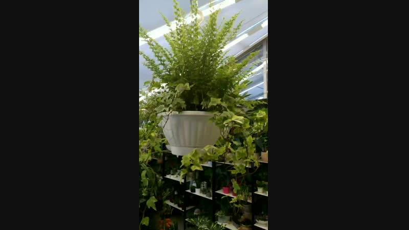 Ампельные растения 💚