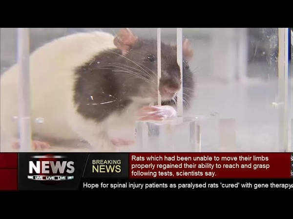 Hope for spinal injury patients as paralysed rats cured with gene therapy