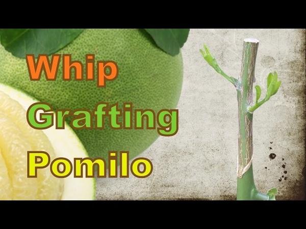 Whip grafting pomelo