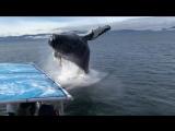Невероятное видео: игривый кит едва не утопил лодку с туристами на Аляске