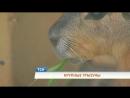 Крупные грызуны в Пермском зоопарке появились патагонские мары