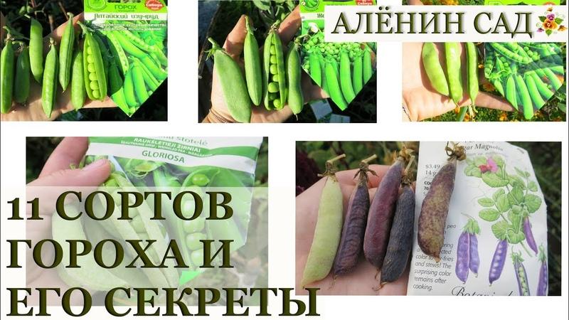 11 сортов гороха ВЫБИРАЕМ лучшие! Секреты выращивания гороха