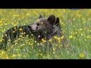 Бурый медведь Мир животных Медвежьи истории Документальный фильм