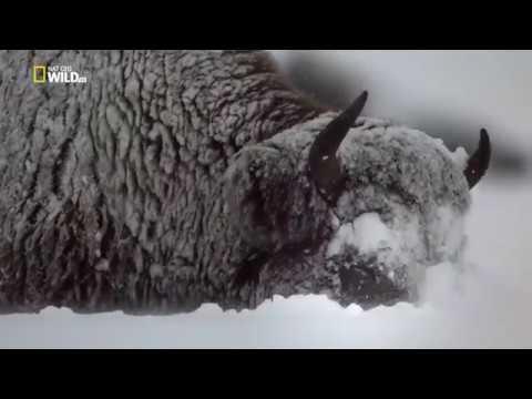 Дикий Йеллоустоун: огонь и лед
