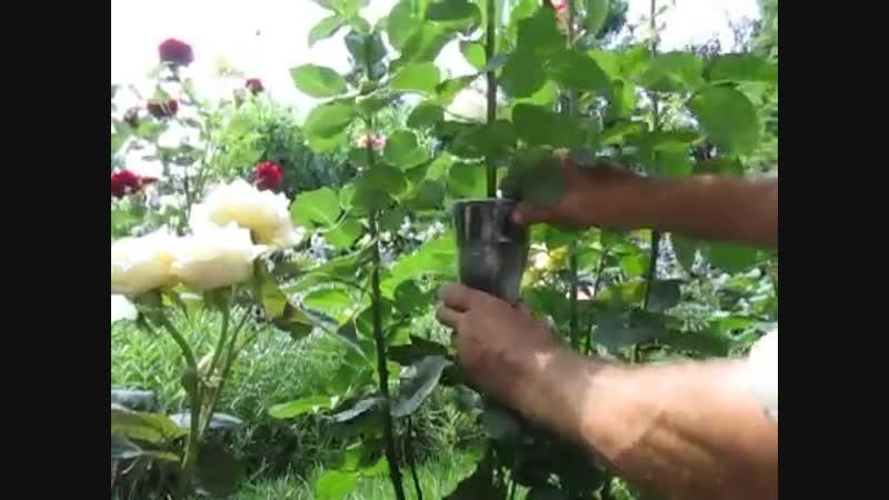 РОЗЫ. Как размножать розы воздушной отводкой. Легкий и быстрый способ
