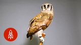 The Majesty of Africa's Largest Owl