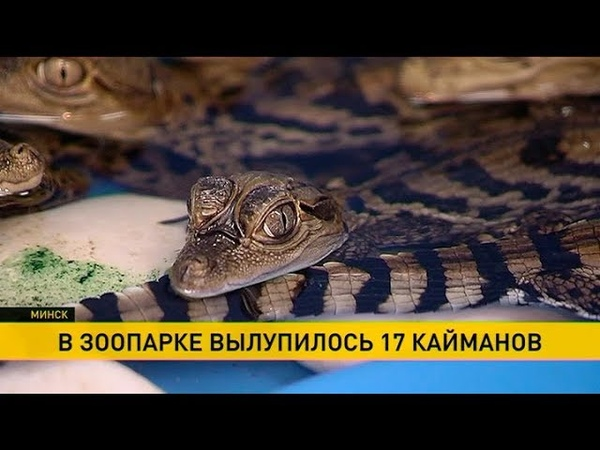 Сразу 17 крокодиловых кайманов вылупилось в Минском зоопарке
