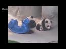 Панды! Смешные и Милые! Funny Panda _ Забавная Видео Подборка