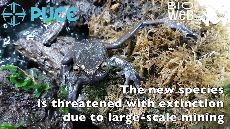 Meet Hillis Torrent tree frog