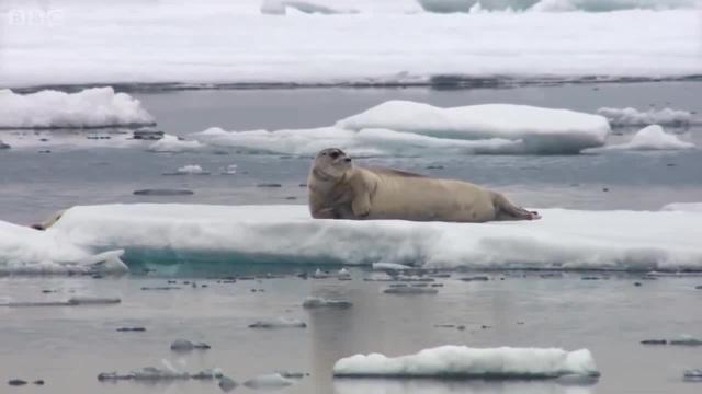 Тюлень с большими мечтами