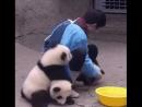 панды умываются