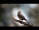Пение птиц в природе.Клёст-еловик.