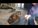 Реакция обезьяны-оренгутана на показанный фокус