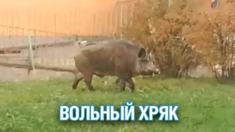 Огромный кабан разгуливает по дворам под Истрой - Подмосковье 2018 г.