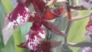 Обзор из ЛЕТТО орхидеи рыбки кролик