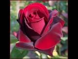 Кто тебя создал такую - Роза