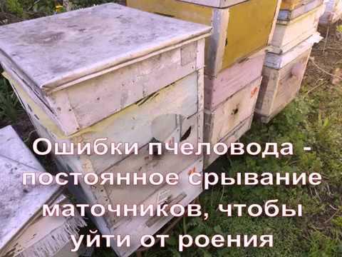 ошибки пчеловода - постоянное срывание маточников, чтобы избежать роения