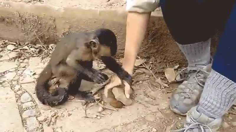 Here you can see a capuchin monkey instructing a female human on how to properly use stone tools