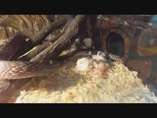 Очковая кобра Вишну за трапезой. А какую мышку выбрали бы вы? Левую или правую?