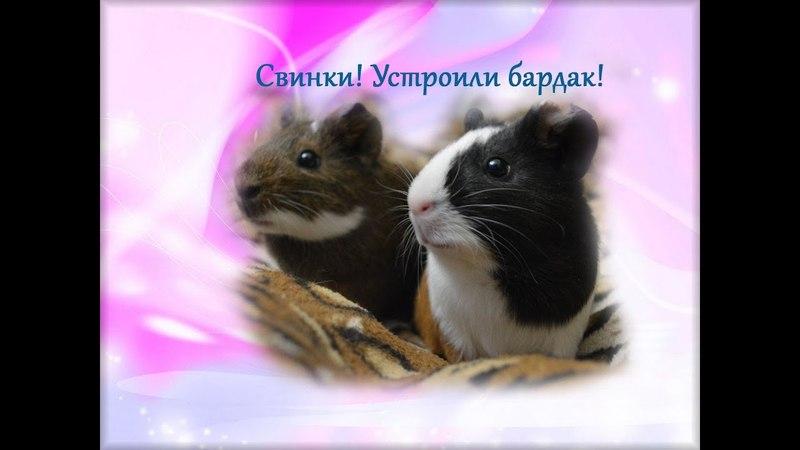 Морские свинки Шоколадка и Колобок Устроили бардак Немного мимими