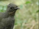 птица генерит амен брейкбит на 057