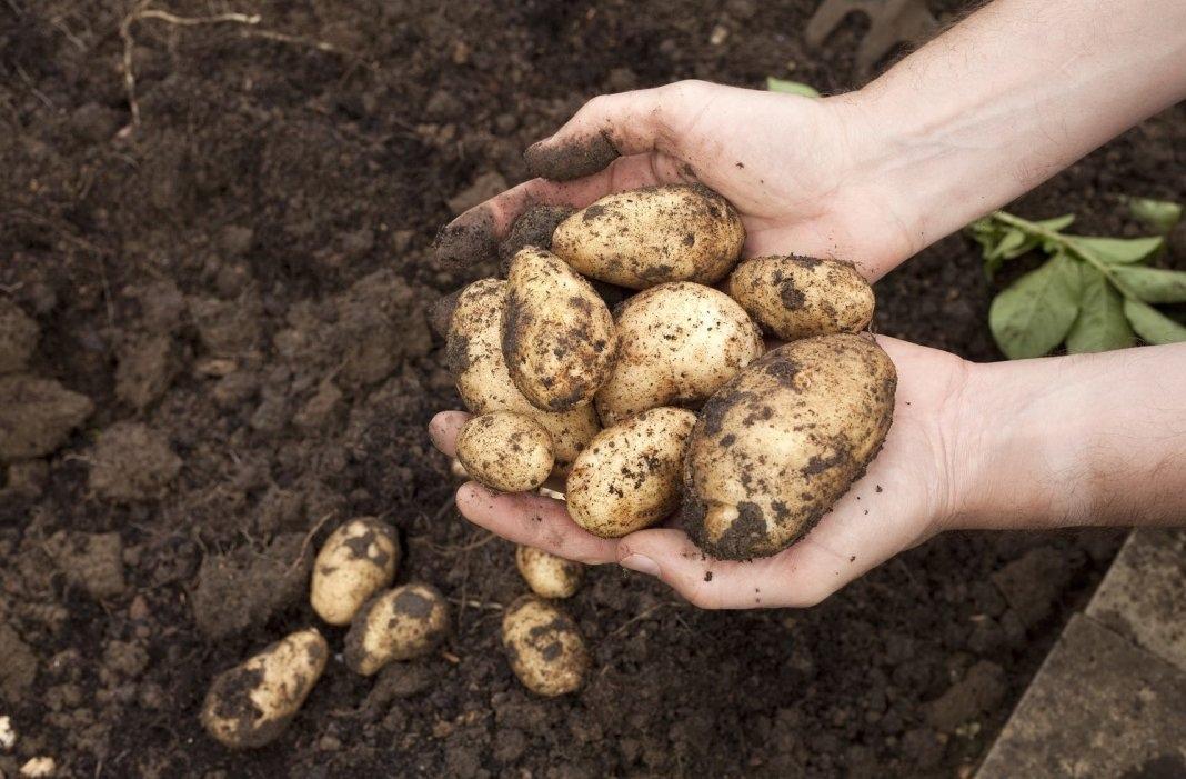 Когда копать картошку на хранение в 2019 году по лунному календарю