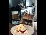 Енот отмечает свой День рождения