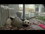 Когда нужно работать, но панды против