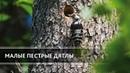 Семейство малых пестрых дятлов у гнезда. (Lesser Spotted Woodpecker)