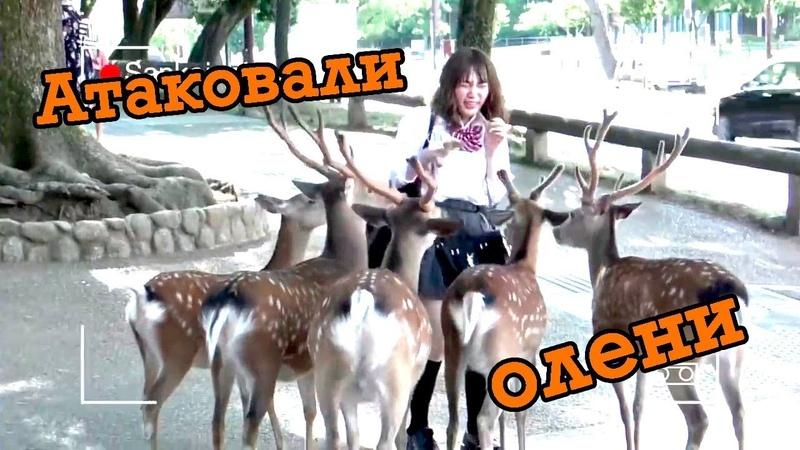 Олени, ноздри будды, никуманы - школьная поездка вместе с Санкоичи